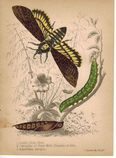 Moths and Caterpillar 1857 Hand Color Insect Print
