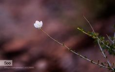 """Lonely blossom """"Grand Wash"""" in the Capitol Reef National Park Utah USA"""