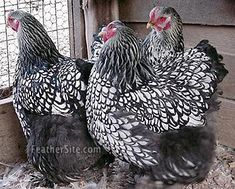 silver laced cochins, with feathered feet that make them look like they're wearing snowshoes.