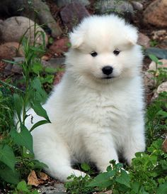 15 Times Samoyeds Looked Just Like Fluffy Marshmallows Long Haired German Shepherd, Dog Jewelry, Samoyed, Dog Lovers, Husky, Pets, Animals, Marshmallows, Nasa