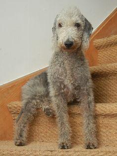 Mila, Bedlington Terrier