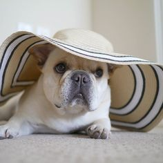 """""""After all, tomorrow is another day…"""" #gonewiththewind, French Bulldog"""