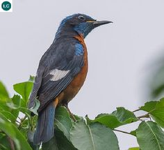 "https://www.facebook.com/WonderBirdSpecies/ Blue-capped rock thrush (male)(Monticola cinclorhynchus); Indian subcontinent; IUCN Red List of Threatened Species 3.1 : Least Concern (LC)(Loài ít quan tâm) <("") Hoét đá chỏm đầu lam (trống); Tiểu lục địa Ấn Độ; HỌ ĐỚP RUỒI CỰU THẾ GIỚI - MUSCICAPIDAE (Old World flycatchers)."