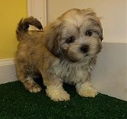 Lhasa Apso puppies for sale in NY