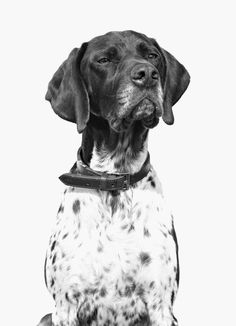♥ German Shorthaired Pointer: such beautiful & sweet dogs