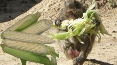 Monkeys Eating White Corn – Monkeys Natural Life & Daily Action of Monkeys 2018 – Part 34