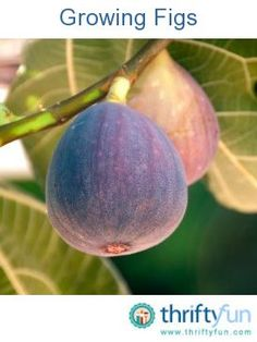 This guide is about growing figs. Are you considering planting a fig tree? I WANT A FIG TREE THIS SPRING! LOVE DRIED FIGS AT THANKSGIVING TIME,