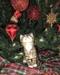 Sweet Kitten Millie under her first Christmas tree