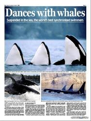 Orca whale coverage I had in some of the biggest newspapers around the world. It started in the UK and went all the way down to Australia.
