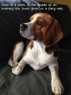 """Beagle - I thought it was going to say a """"furry tail""""..haha #BestPuppies"""