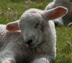 you is so cute, little happy lamb!