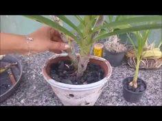 A Orquídea que não parece Orquídea - Catasetum - YouTube