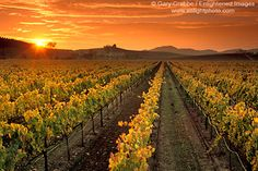 Sunset over wine grape vines in vineyard in fall, Carneros Region, Napa County, California