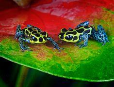 Dendrobates imitator, Poison Dart Frogs