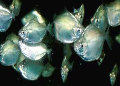 Silver Dollar Fish  Characins