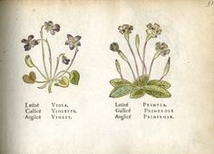 Two representations of flowers: violet on the left, primrose on the right.  1586  Hand-coloured woodcut