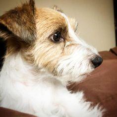 #chien #animal #chiot  #JackRussellTerr aer
