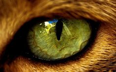 tiger eye - Google Search