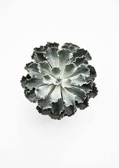 Echeveria spec. | Flowers & Greens