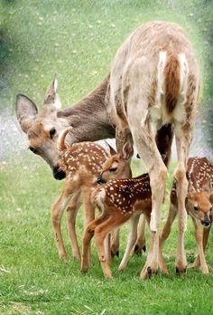 deer family awwww Bambi r so cute Nature Animals, Animals And Pets, Wild Animals, Animals With Their Babies, Beautiful Creatures, Animals Beautiful, Cute Baby Animals, Funny Animals, Deer Family