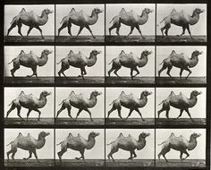 "from ""Animal Locomotion"" by Eadweard Muybridge"