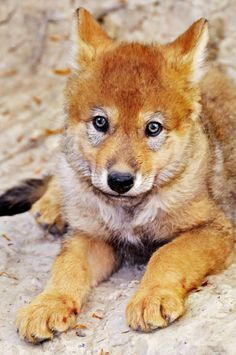 Grey wolf pup.