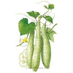 'Armenian' Cucumber Seeds Want to try something new in your garden? Cucumber Canning, Cucumber Seeds, Cucumber Trellis, Anemone Bouquet, All Vegetables, Veggies, Growing Seeds, Botanical Drawings