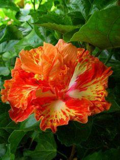 Tahitian hibiscus baby bonfire