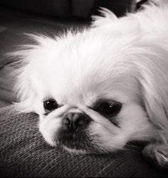 My pekingese was begging for a snack I was eating. I just love her little face #pekingese #blackandwhite