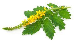 Jako drogu využíváme květ a stvol včetně listů.