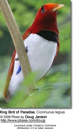 The King Bird of Paradise, Cicinnurus regius, is distributed throughout lowland forests of New Guinea and nearby islands.