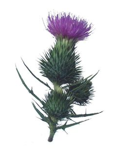 Gallery For Scottish Thistle Tattoo Designs Botanical Flowers, Botanical Prints, Scotch Image, Scottish Symbols, Scottish Thistle Tattoo, Flor Tattoo, Faith Hope Love Tattoo, Thistle Flower, Flower Studio