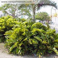 Zamia furfuracea - buy seeds at rarepalmseeds.com