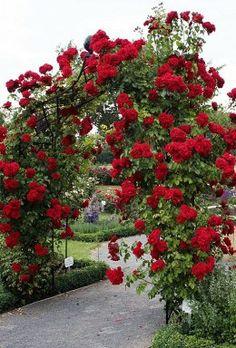arcada de rosas trepadoras