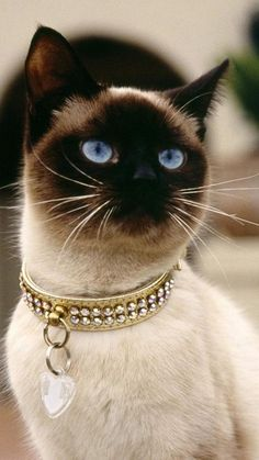 Siamese cats pictures) - Siamese Cat - Ideas of Siamese Cat - Siamese cats pictures) More The post Siamese cats pictures) appeared first on Cat Gig. Cute Cats And Kittens, Cool Cats, Kittens Cutest, Pretty Cats, Beautiful Cats, Animals Beautiful, Pretty Kitty, Beautiful Things, Funny Cats