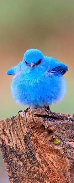 This must be that Lil Blue Bird of Happiness that Mom-Mom kept wishing to fly up our noses - every time we sneezed! Mountain Bluebird