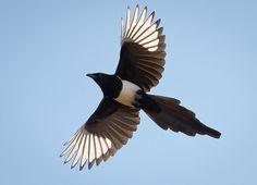 pie bavarde en vol All Birds, Birds Of Prey, Eurasian Magpie, Pie Bavarde, Magpie Tattoo, Crows Ravens, Jackdaw, Animal Magic, Large Tattoos