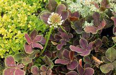 Trifolium repens - Kløver - bliver ca. 20 cm høj og får cremehvide blomster. Den er ret blomsterrig, og blomstrer især fra juni og til august.