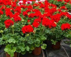 Mușcatele sunt niște flori superbe care vă răsplătesc cu niște flori bogate dacă le îngrijiți corespunzător. Despre această modalitate simplă de a stimula înflorirea mușcatei mi-a spus o angajată a Grădinii Botanice. Ea m-a observat cum admiram cu plăcere mușcatele de acolo. Mie nu-mi venea să cred că el nu sunt tratate cu substanțe chimice. Florile se vor menține practic tot anul. Planta va fi puternică, sănătoasă și nu va fi afectată de razele directe ale soarelui și de boli, va suporta…