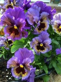 Foto de Pansy (Viola x wittrockiana 'Frizzle Sizzle Mix') carregado por Njiris by Divonsir Borges Flowers Nature, Exotic Flowers, Amazing Flowers, Purple Flowers, Beautiful Flowers, Yellow Roses, Pink Roses, Johnny Jump Up, Pot Jardin