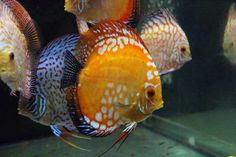 discus fish - Google Search