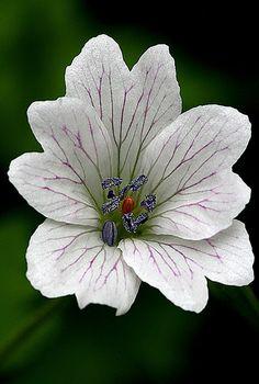 ~~geranium by vernon.hyde~~