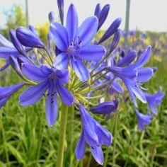 Agapanthe 'Brilliant Blue' ® -   L'Agapanthe 'Brilliant Blue' ® est une vivace caduque avec un feuillage vert et une floraison bleue qui s'étend de mai à août. Sa tige florale est courte (75cm) mais elle est très florifère. La production de fleurs peut atteindre plus d'une centaine après 5 ans de mise en cutlure dans votre jardin. L'Agapanthe 'Brilliant Blue' ® est résistante à la sécheresse et au froid (-10°C) durant la période hivernale.