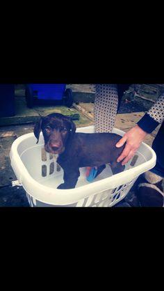 Dalmador barney #labrador #Dalmatian #dalmador #cross #puppy