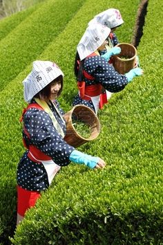 Mitoyo Kagawa Japan April 23 Young japanese women with traditional clothing kimono harvesting tea le Stock Photo
