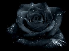 this wasn't originaly black rose. but dammit who cares xD Rose Gothic Rose Images, Rose Pictures, Black Is Beautiful, Beautiful Roses, Ronsard Rose, Rose Perfume, Rose Wallpaper, Black Flowers, Gothic Art