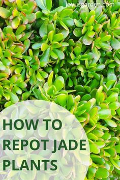 Jade Plants are easy-care houseplants. This guide on jade plant repotting tells how to repot a jade plant, when to repot a jade plant, & jade plant potting soil. Repotting a jade plant is easy if you follow these tips on how to repot a jade plant. #repottingtips #succulentrepotting Easy Care Houseplants, Jade Plants, Potting Soil