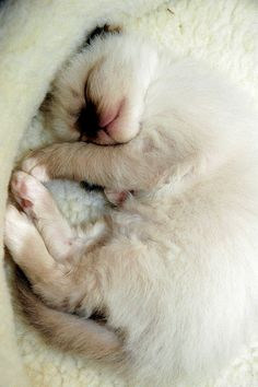 How much a Birman Cat sleeps per day?.Click the picture to read