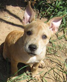 """ANGIE is an adorable 10 week old, 8 lb Pittie mix who's good with dogs, cats and horses! Look at those amazing ears - we should probably call her """"The Flying Nun!"""" Angie likes to be picked up and carried around - so cute! Angie was rescued in rural Oklahoma and looks forward to finding her fur-ever home in/near Bucks County, PA! Angie is spayed and up to date on age appropriate vaccines. Adoption fee is $350. Please visit our website WWW.LULUSRESCUE.COM and click on the ADOPT tab to apply!"""