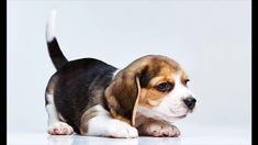 Top 10 Benefits Of Having A Beagle
